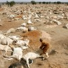 Drought pushes food prices up in Eastern Africa as livestock prices fall