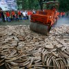 Uganda Wildlife Authority to destroy impounded ivory