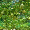 Earn big from growing passion fruits