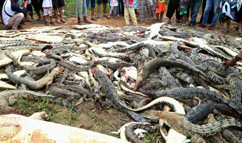 300 crocodiles slaughtered by an angry mob in Indonesia after killing a man