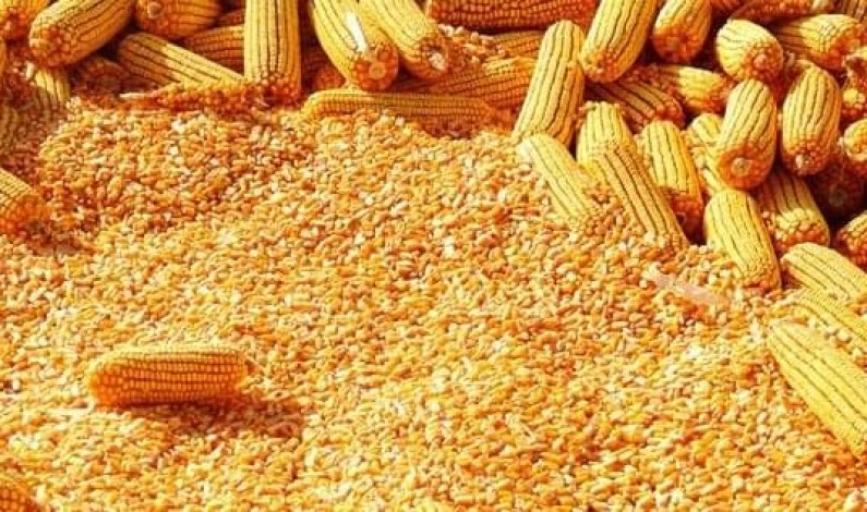 Government to Avail Shs100b to re-stabilize maize prices
