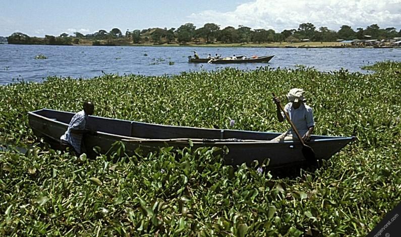 Water hyacinth re-appears on Uganda's Lake Victoria