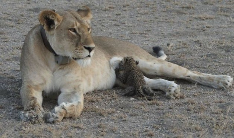 'Truly unique' mother lioness nurses leopard cub in Tanzania