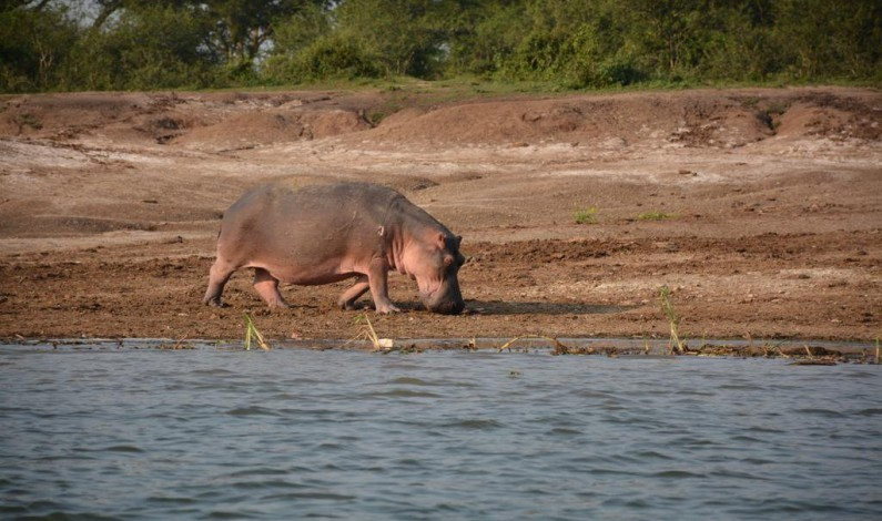 MP calls for action against hippos attacking people in western Uganda