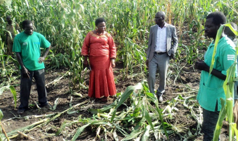 Elephants vandalize crops in Moyo district