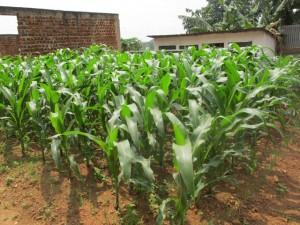 maize garden in Uganda