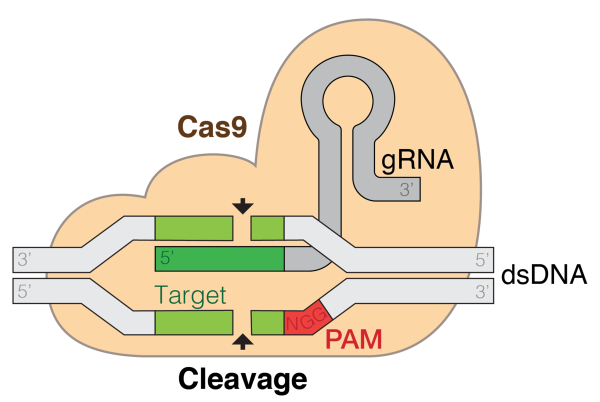 CRISPR Cas 9 used for gene editing